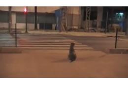 【動画】人間よりもお利口!青信号になるまで待って横断歩道を渡るイヌ
