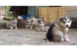 【動画】かわいさテンコ盛り!マラミュートの子犬たち