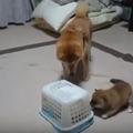 【動画】柴犬一家に起きた突然のハプニング 画像