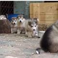 【動画】かわいさテンコ盛り!マラミュートの子犬たち 画像