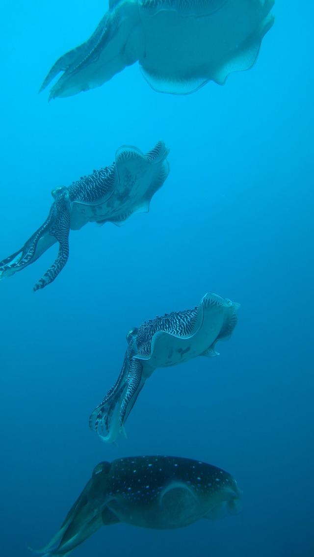 アスペクト比16対9で撮影したコブシメ
