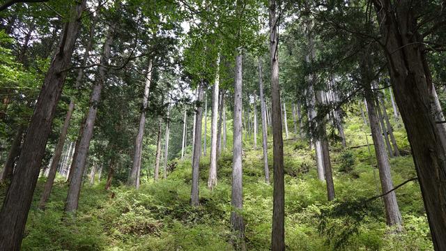 真っ直ぐに木が並ぶ様子が美しくて撮影