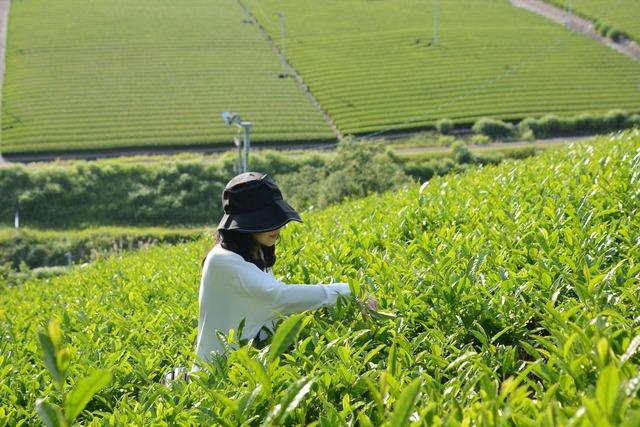 静岡の茶草場農法:茶摘み体験【錦怜那】