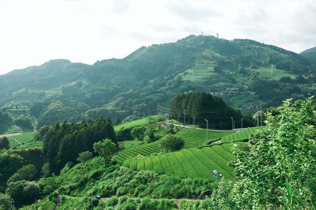 静岡の茶草場農法【錦怜那】